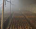 食用菌生产如何高效的控制污染一