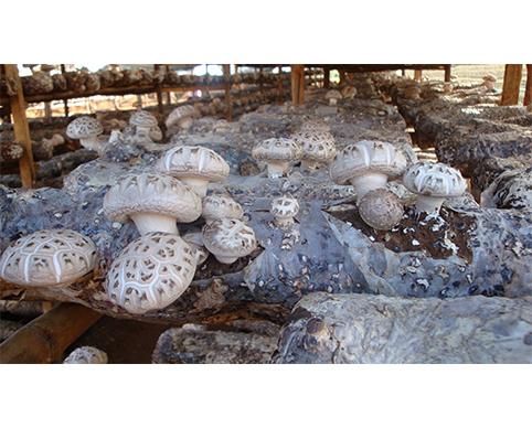 花菇提高产量和品质的方法—亿昌菌业花菇篇